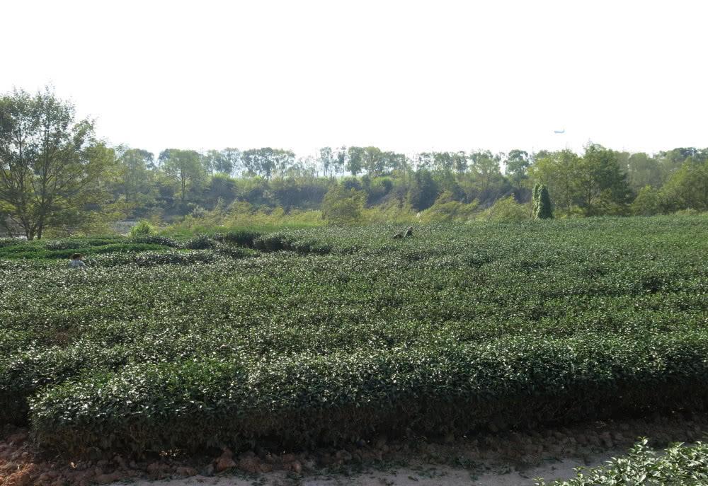 武夷名丛铁罗汉茶树