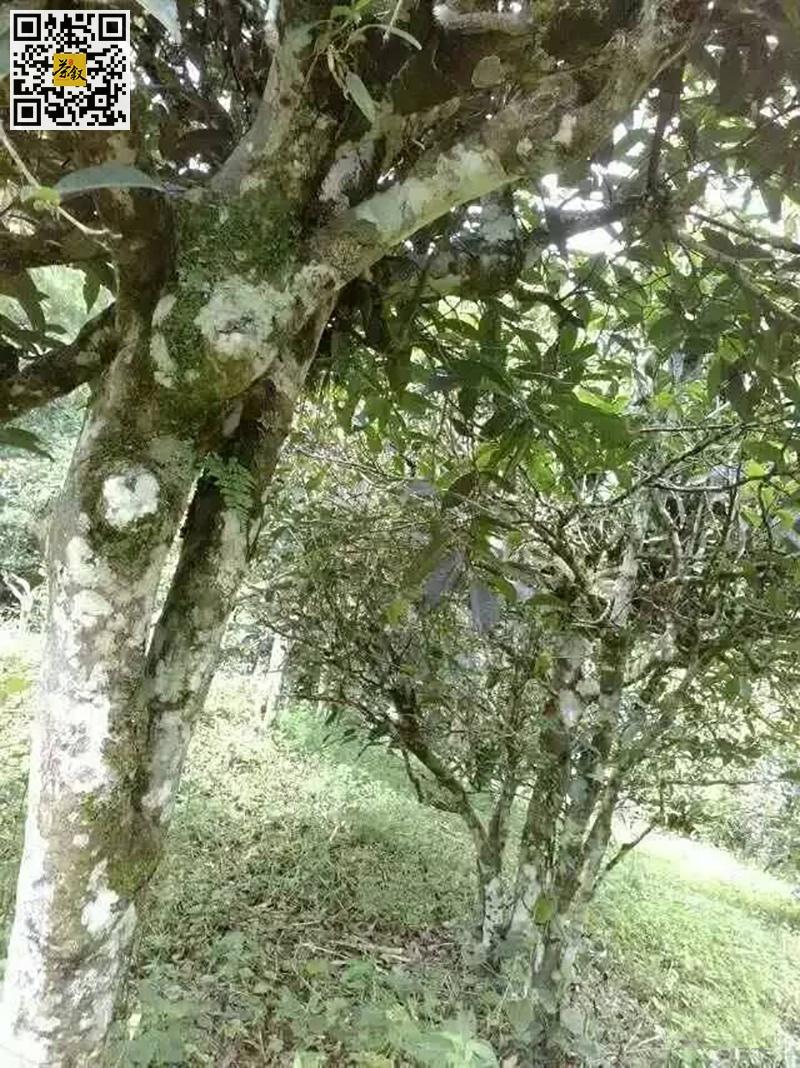 老曼峨古茶树