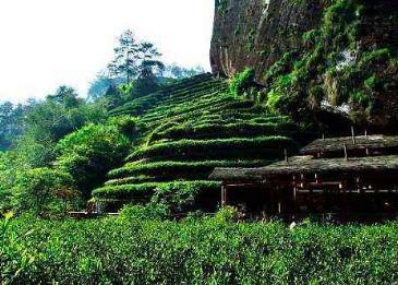 茶知识:怎么区分武夷山茶中的武夷岩茶和武夷红茶?