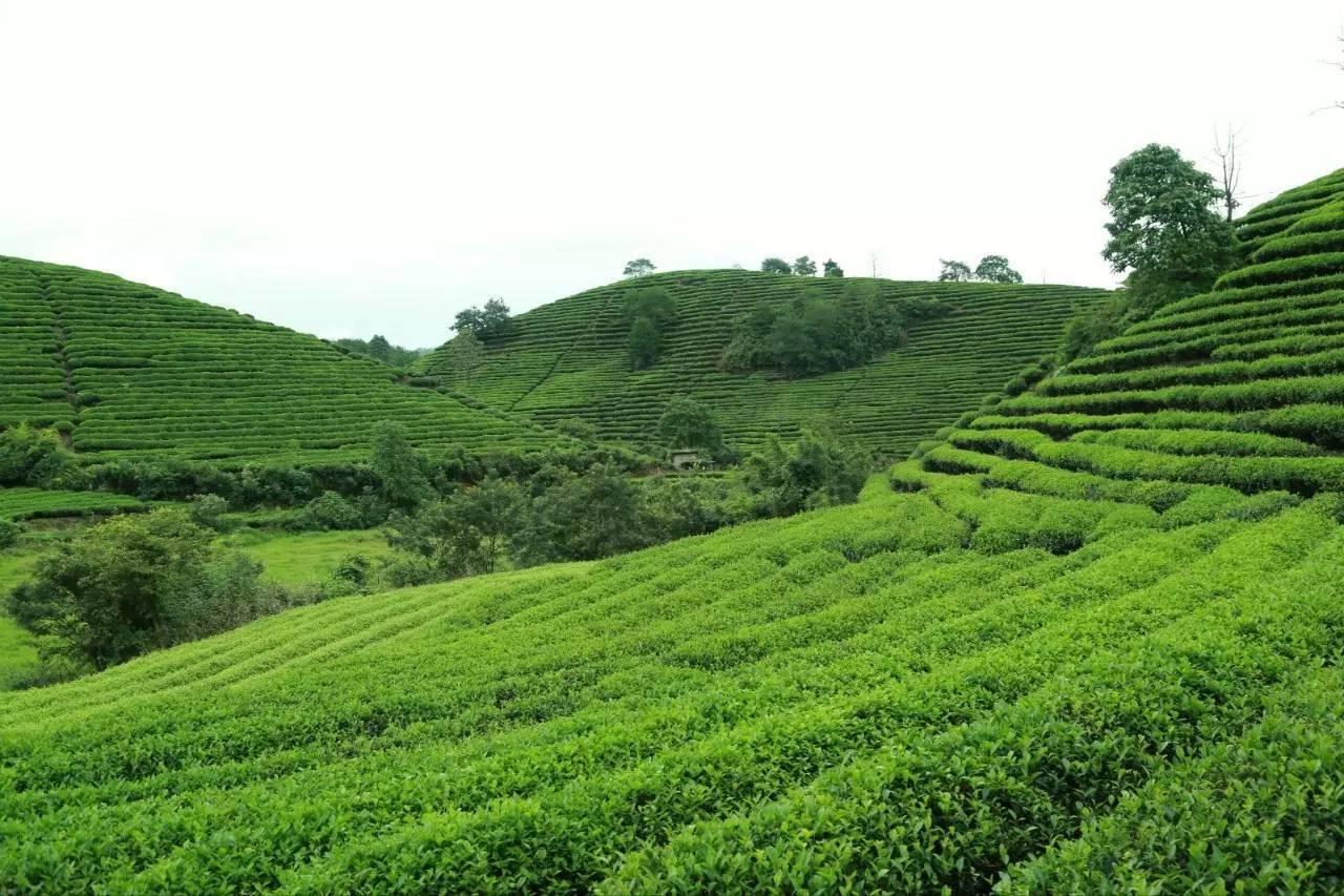 岩茶知识:武夷岩茶五大系列,通过五大系列岩茶解读武夷岩茶种类划分