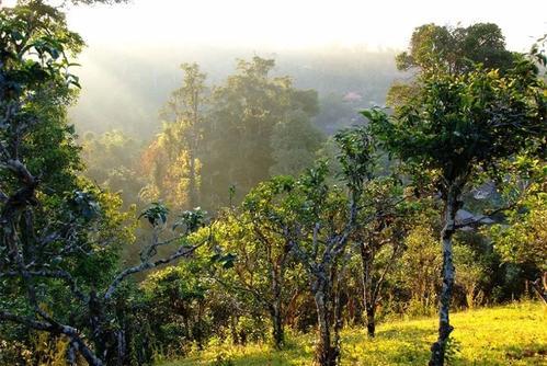 班章原始森林中的古茶园