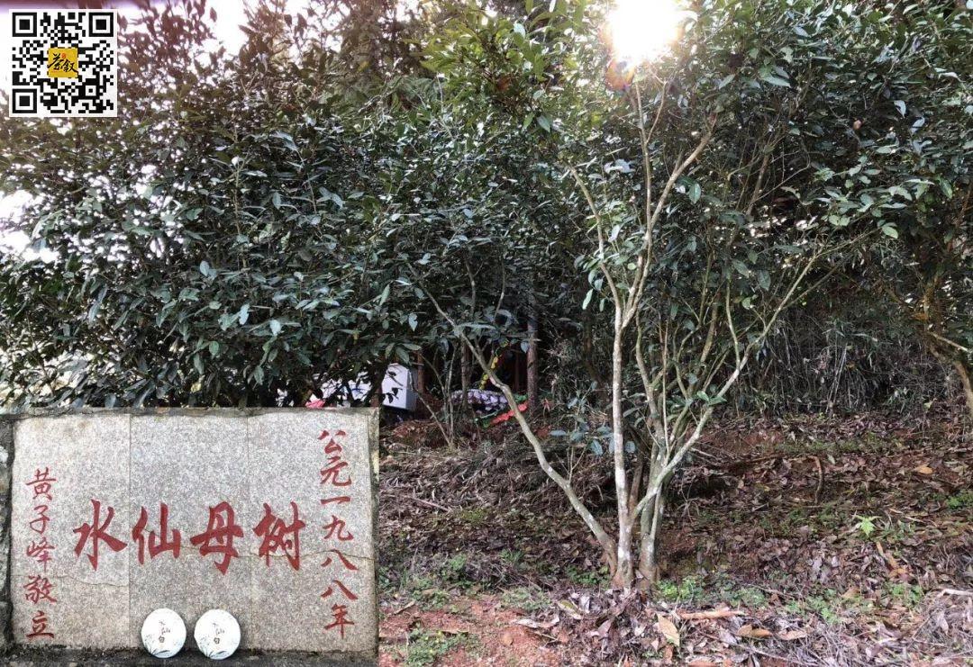 水仙白茶母树