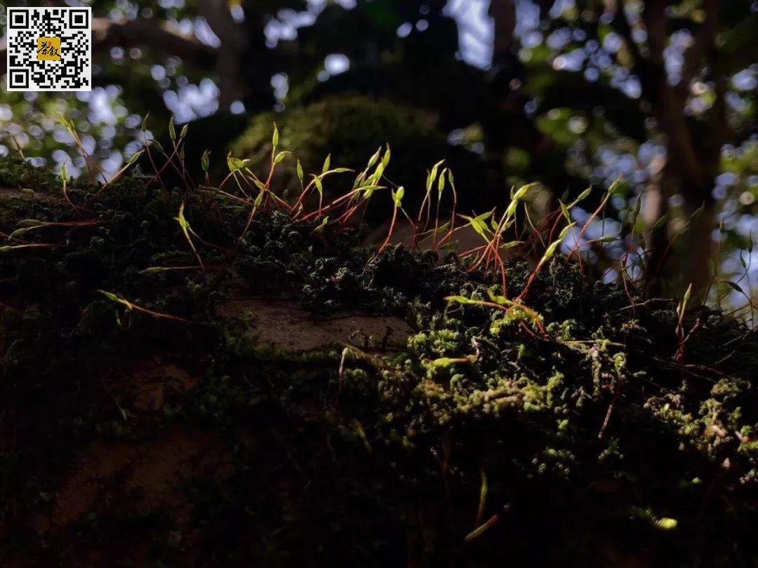 水仙茶树王上长满鲜嫩的苔藓