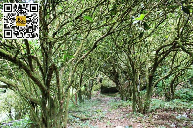 乌龙茶知识:乌龙茶中老丛和老枞有什么区别?多少年树龄的茶树才能称得上是老丛?