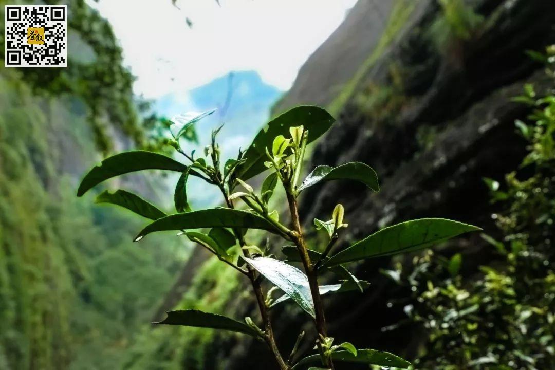 茶文化:陆羽《茶经》说茶有四上:野者上、紫者上、笋者上、野卷上