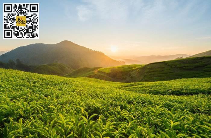 茶业市场:2019年茶业大国中国的茶叶消费统计数据