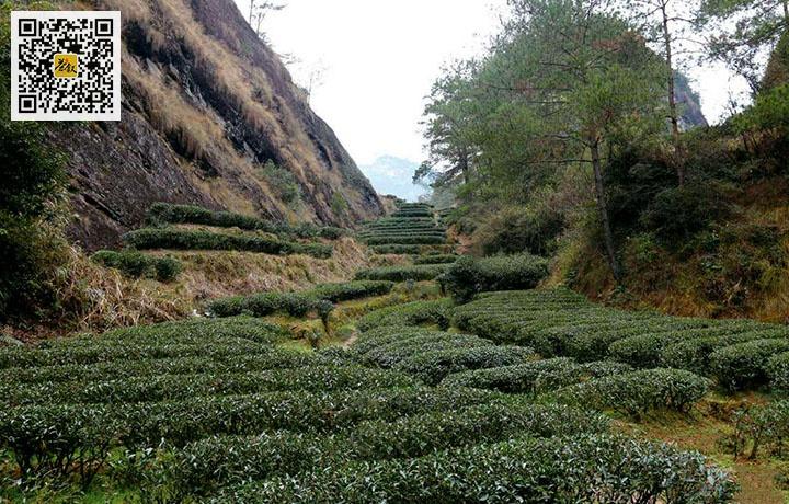 武夷山流香涧茶园