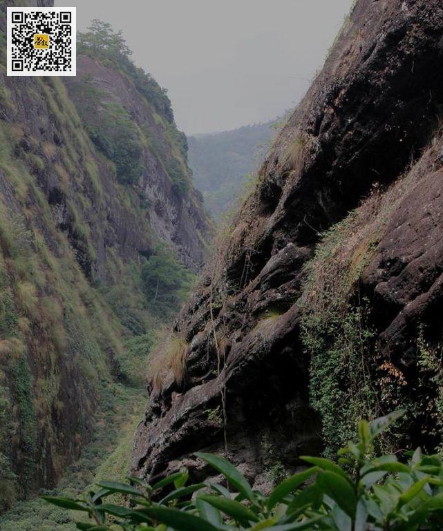 武夷岩茶正岩核心山场鬼洞