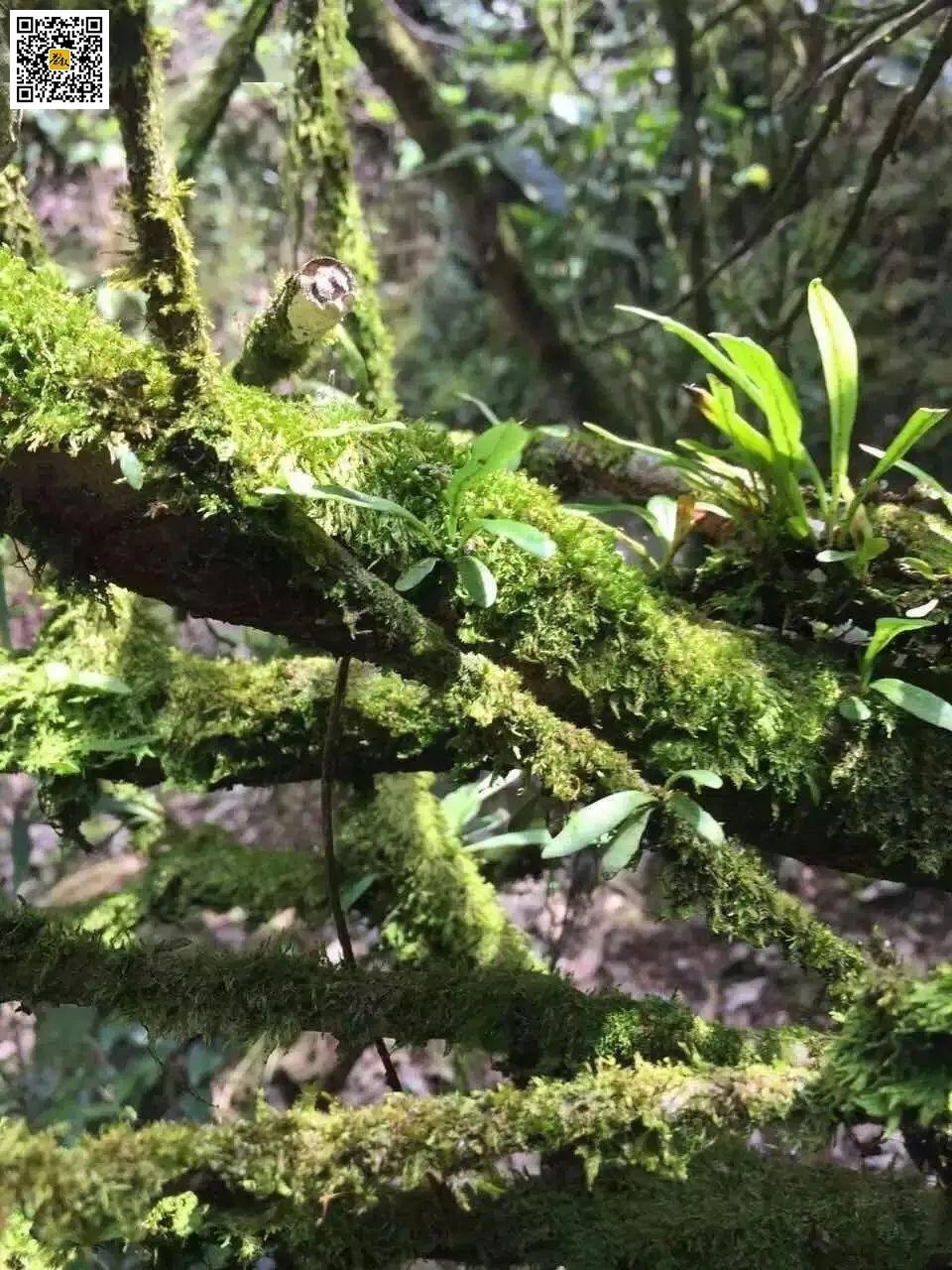 老丛水仙树上的青苔