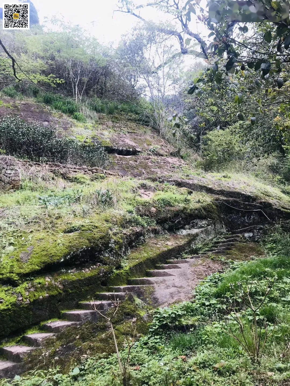 慧苑坑深处的古井老枞水仙山场