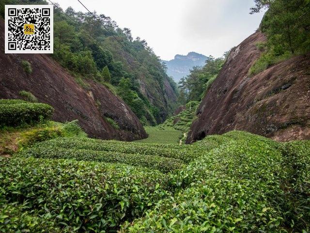 武夷岩茶正岩核心山场倒水坑流香涧