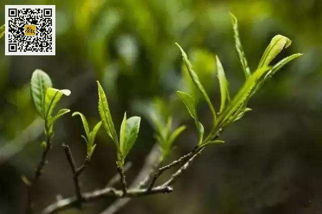 武夷菜茶九种分类