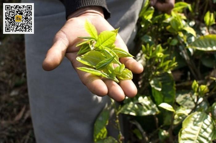 印度大吉岭红茶
