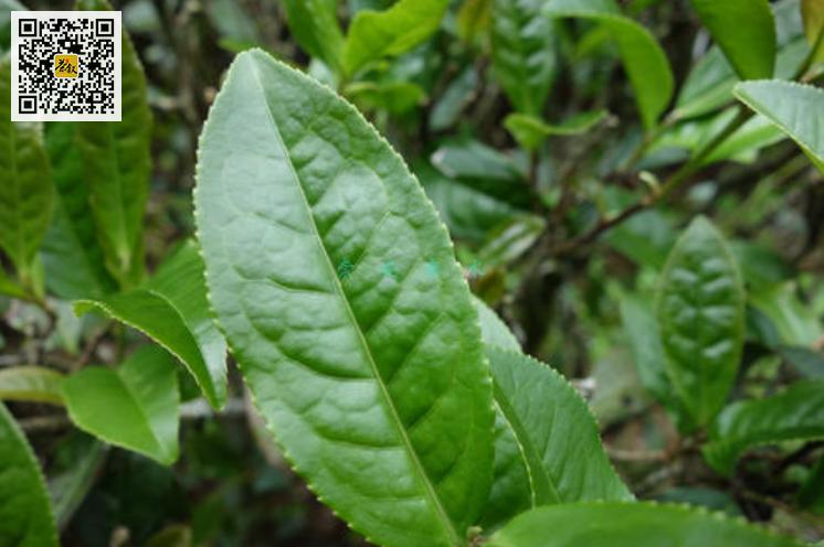 武夷岩茶四大名丛之铁罗汉