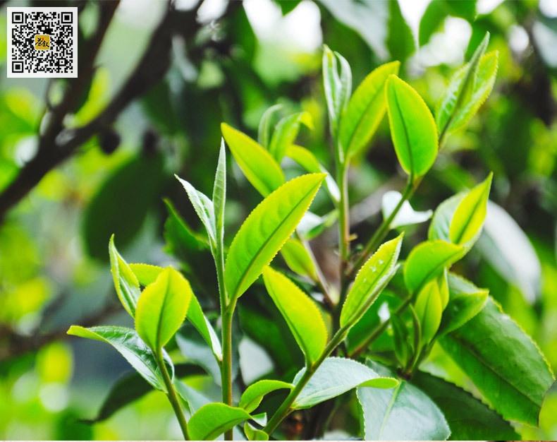 云南滇红茶大叶种茶树