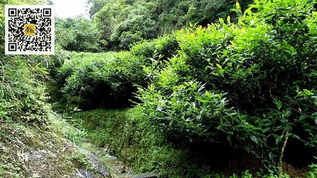 武夷岩茶山场味