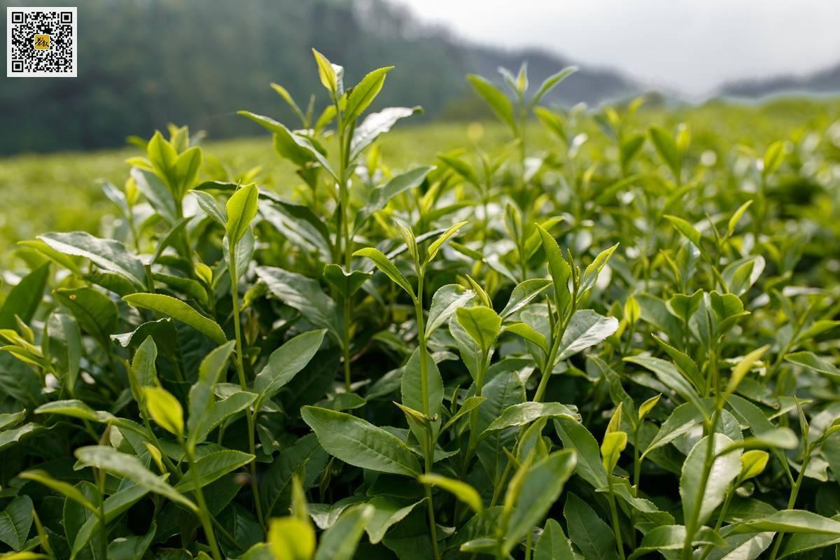 祁门红茶当家品种槠叶种