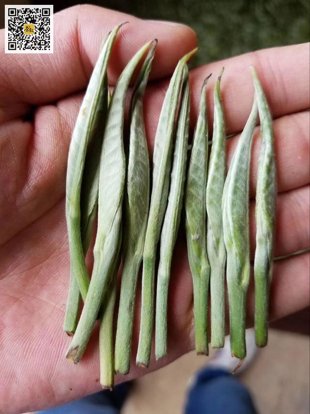 云南红茶滇红金针之大叶种茶鲜叶
