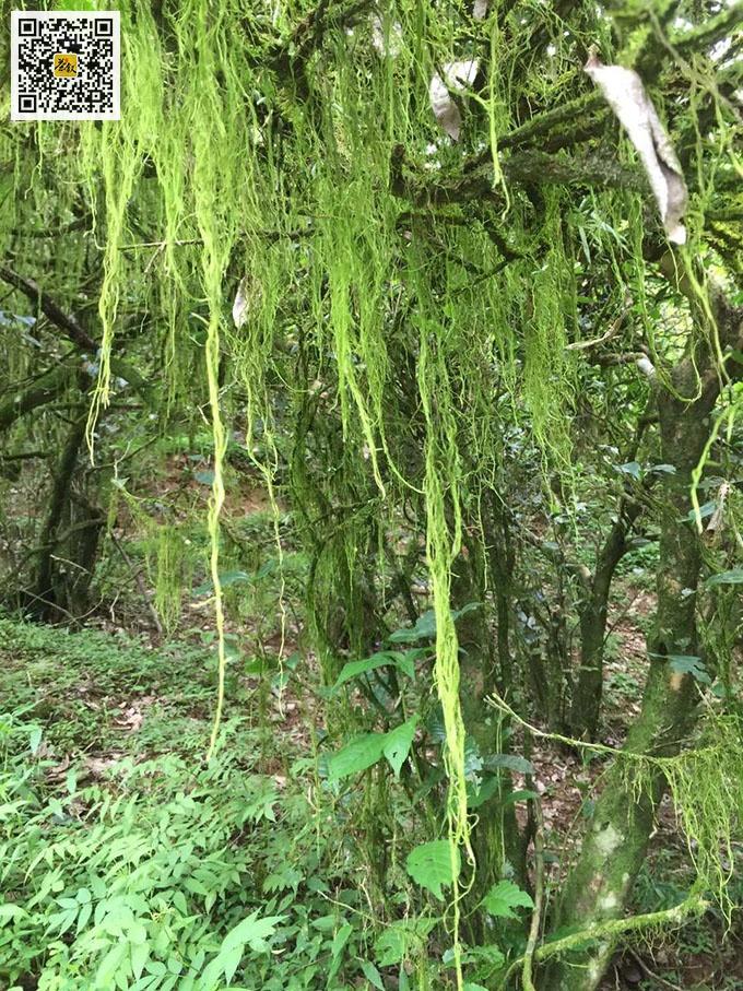 吴三地老丛水仙茶树