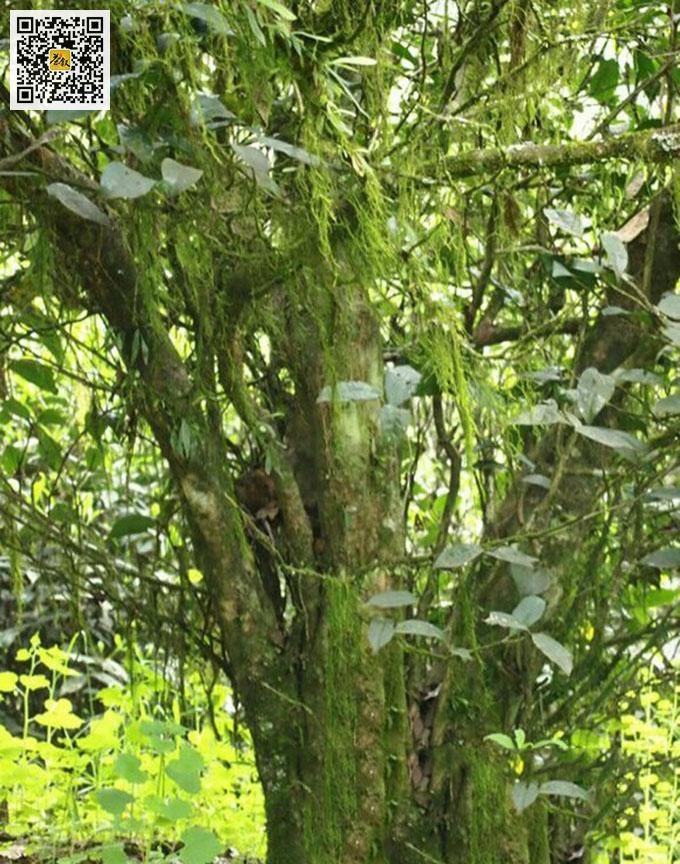 吴三地百年老丛水仙茶树