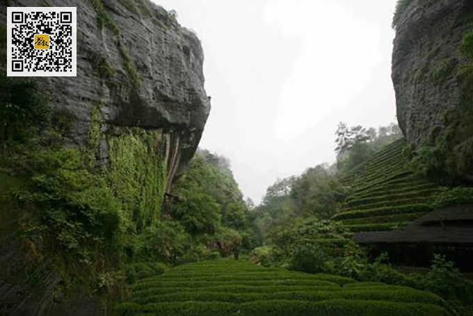九龙窠肉桂茶园