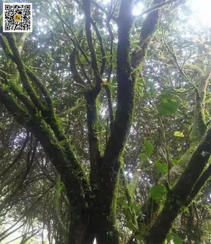 长满青苔的吴三地百年老丛茶树