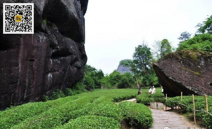 虎啸岩肉桂茶园