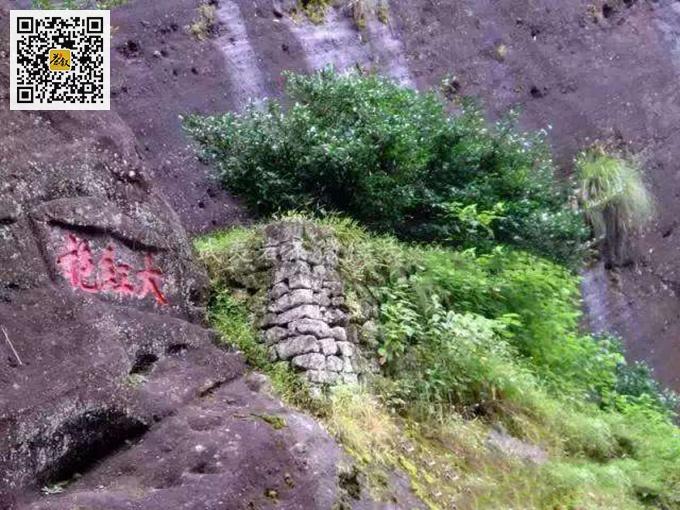 武夷山九龙窠大红袍母树