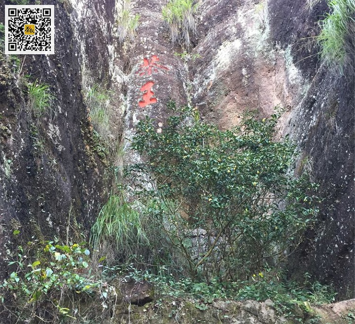 天心永乐茶王真正的大红袍母树