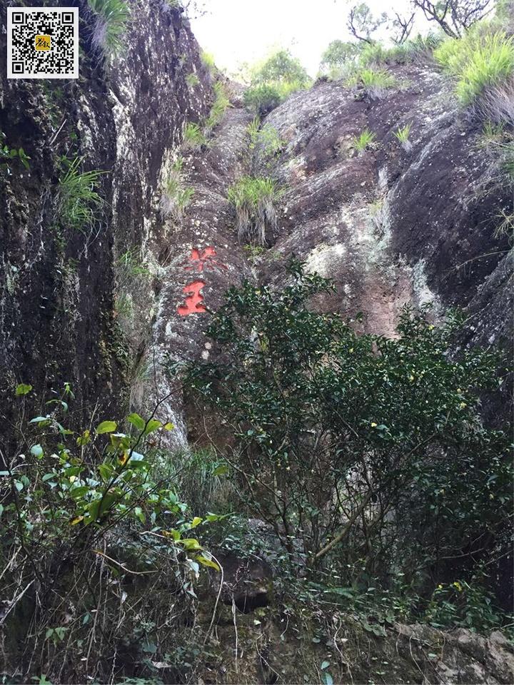 天心永乐茶王茶树真正的大红袍母树