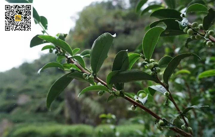 肉桂老树的枝干粗壮