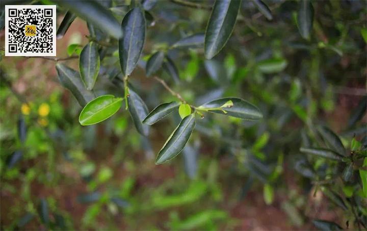 鬼洞肉桂茶树