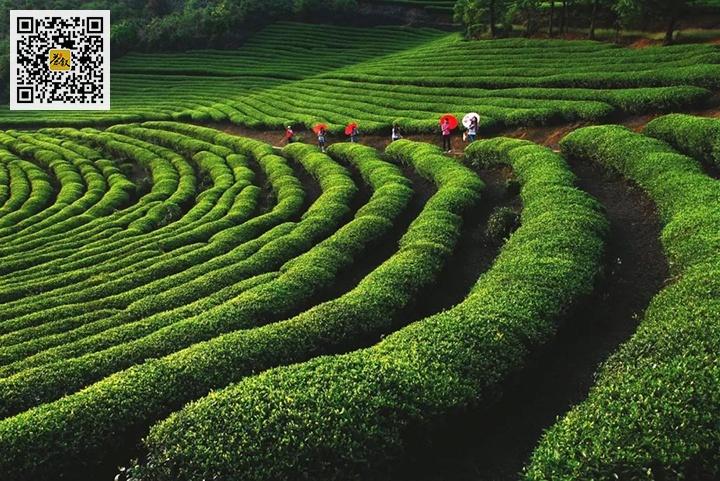 福安坦洋菜茶