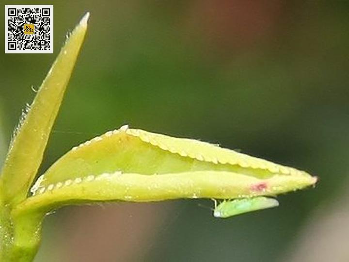 叮咬东方美人的小绿叶蝉