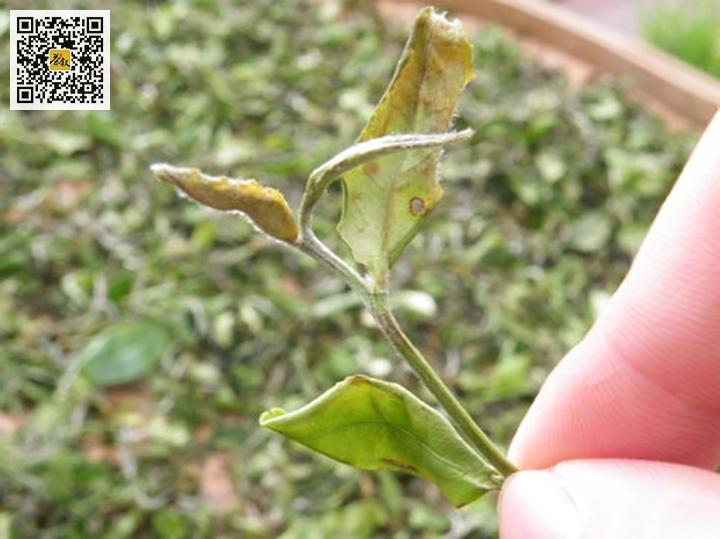 小绿叶蝉叮咬过的茶叶