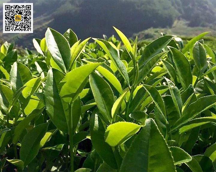 武夷肉桂茶树