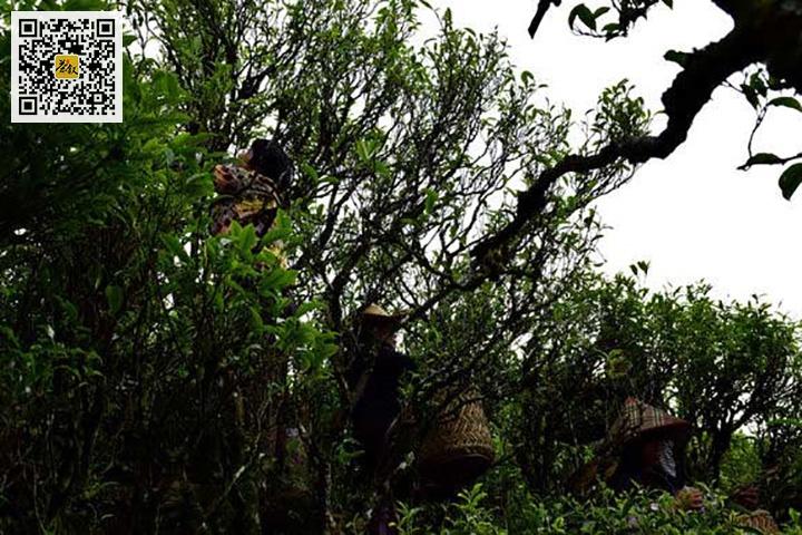 潮州凤凰单丛茶树