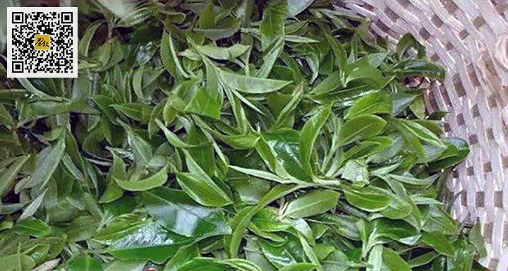红茶正山小种原料一芽二叶或一芽三叶