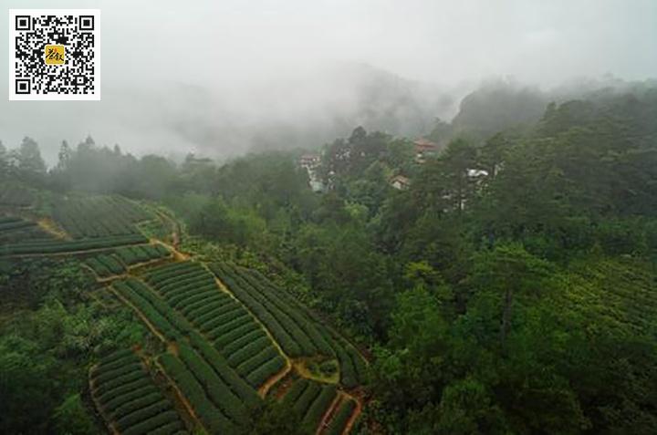 武夷山天心肉桂茶园