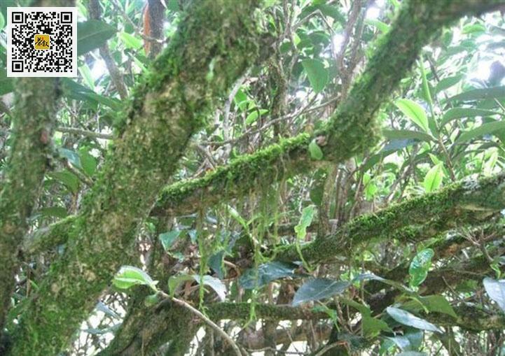 长满青苔的老丛水仙茶树