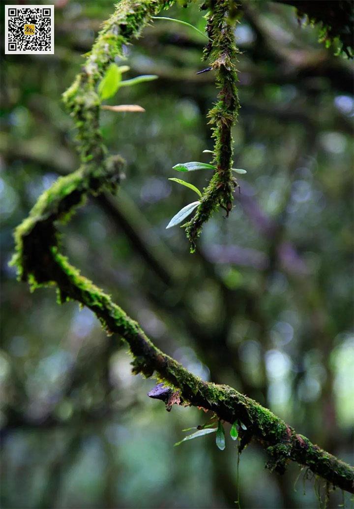 长满青苔的老丛水仙茶树枝