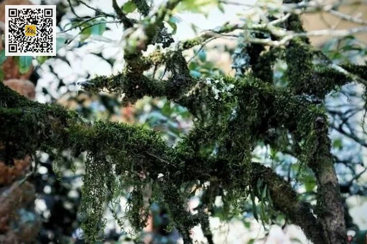 百年老丛水仙茶树