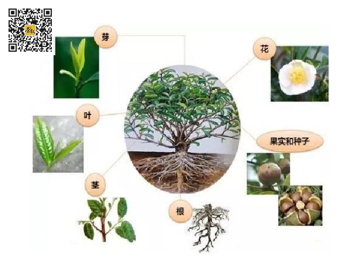 茶树的芽叶花果根茎