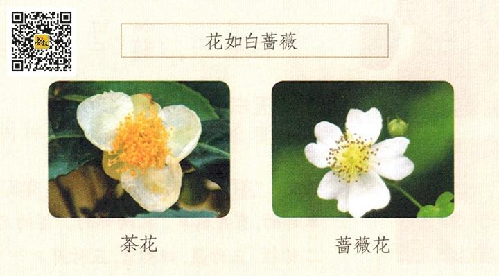 陆羽茶经花如蔷薇