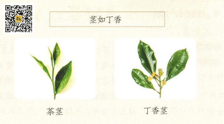 陆羽茶经茎如丁香