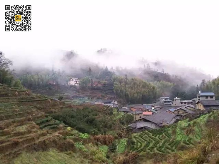 吴三地村到处都是老丛水仙