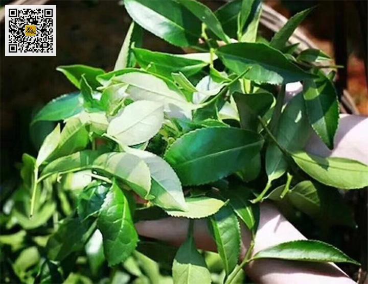武夷水仙岩茶青叶特征